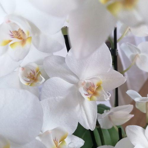 Floristik-Orchidee-weiss_02