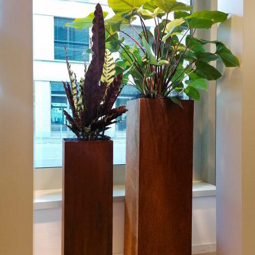 Calathea lancifolia und Homalomena rubescens auf Rostsäulen